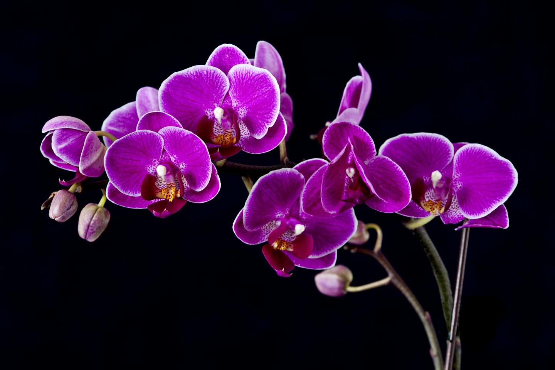 Indoor macro susan bailey photography - White orchid flowers desktop wallpapers ...