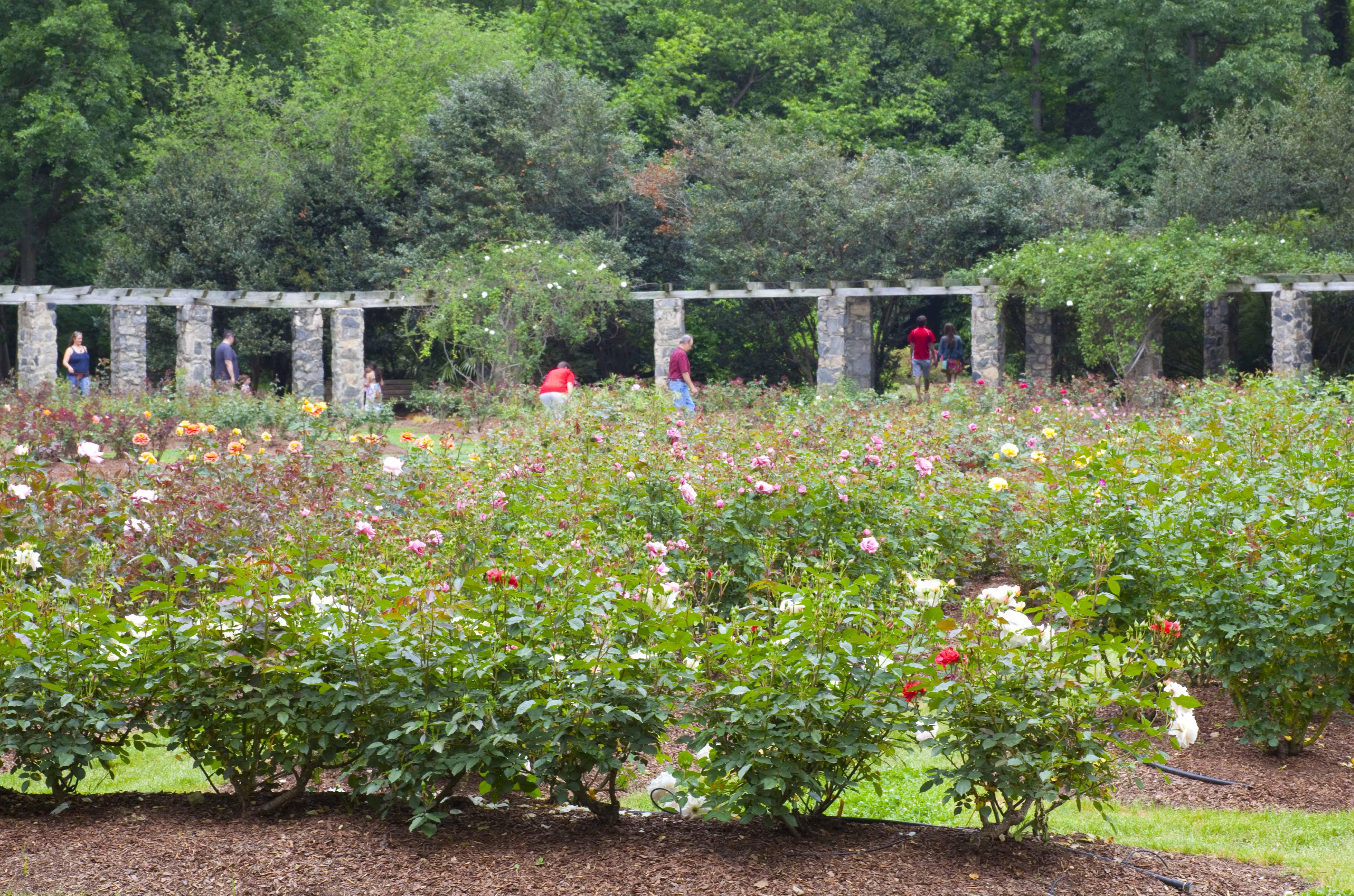 Nc State Rose Garden Raleigh Nc Garden Ftempo