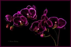 Orchids Adjust 5