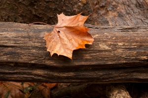 Eno leaf on log