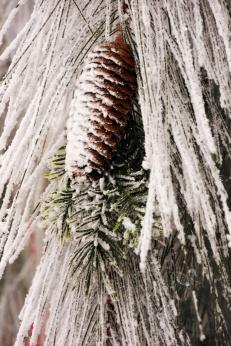 Pine cone original