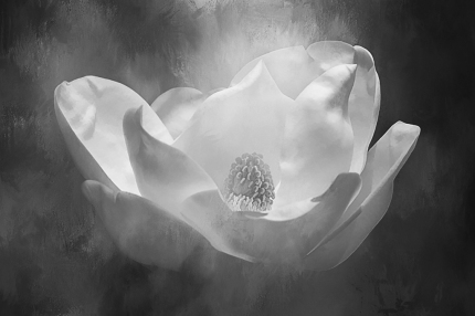 magnolia-bw